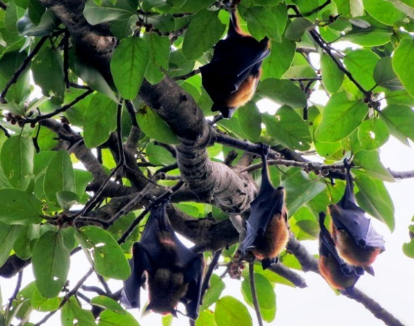 Nipah virus predicted to cause next human pandemic